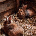 Secretaría del campo convoca a productores de conejo a registrarse en padrón cunícola municipal