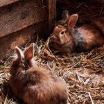 Secretaría del campo fue notificada sobre primeros casos de fiebre hemorrágica viral en conejos silvestres, no en granja